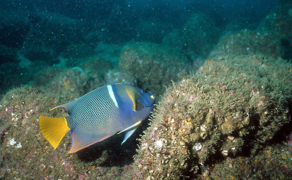 King Angelfish - Catalina Island scuba diving