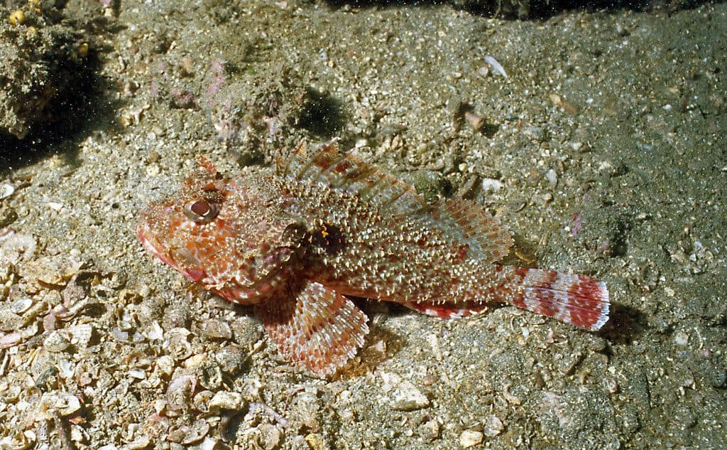 Coco Island player scorpionfish