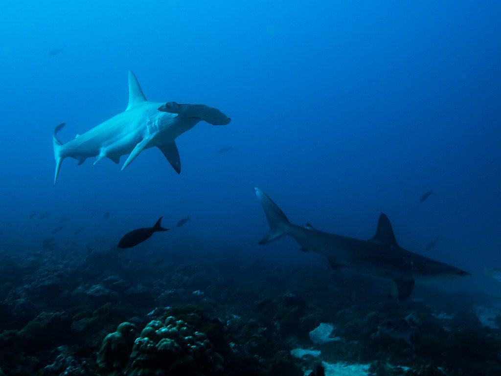 Isla del coco sharks, some of the awesome things you'll see when diving at Isla del Coco
