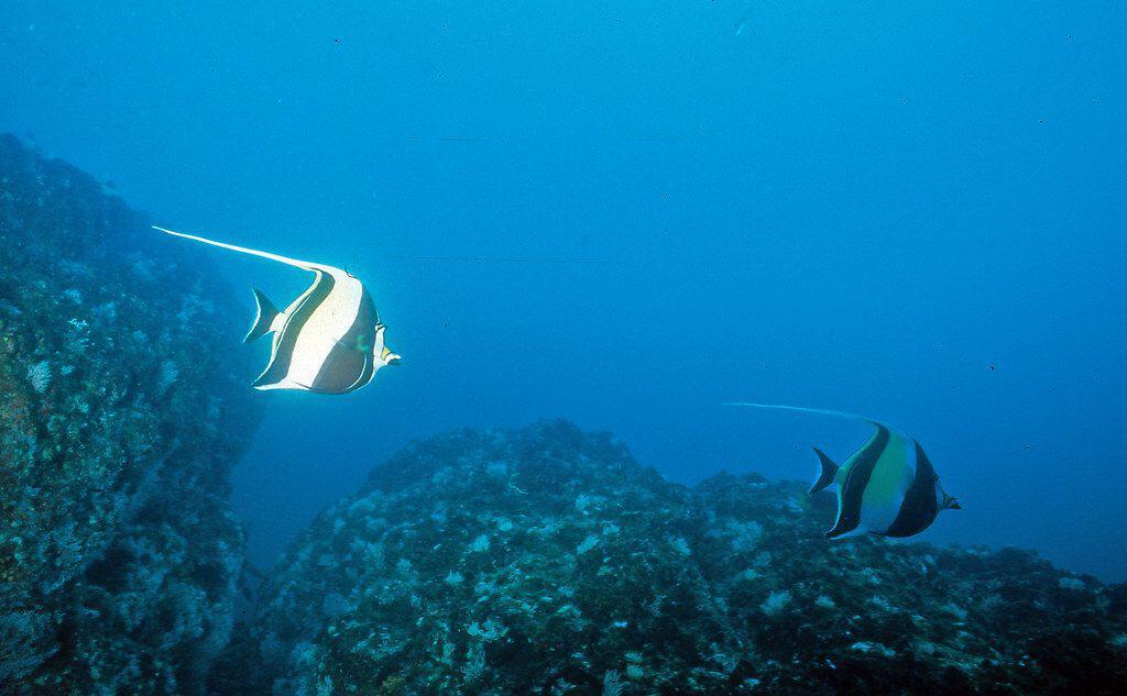 Moorish Idol - Costa Rica scuba diving