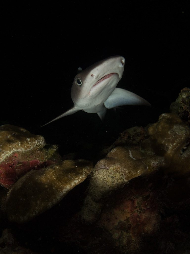 White Tip Shark while night diving in Costa Rica.