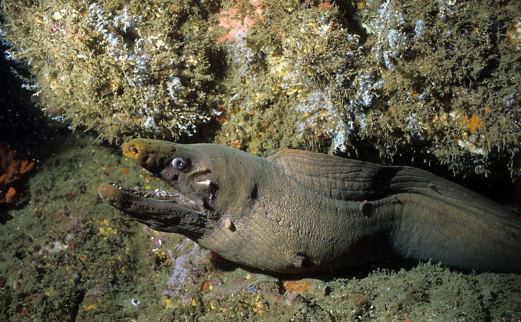 Panamic Green Moray while diving at Bajo Diablo