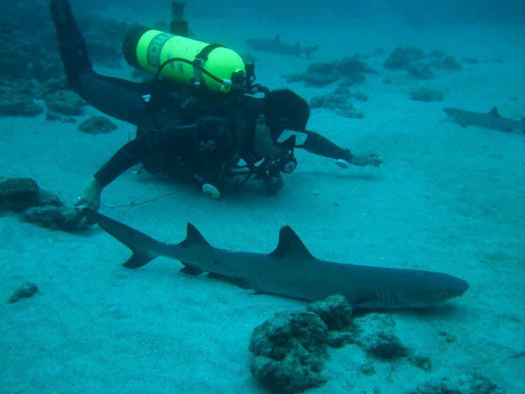 Swimming with white tip sharks
