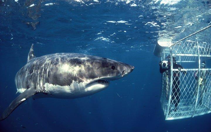 Shark diving at Stewart Island in New Zealand