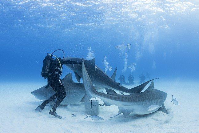 Tiger sharks while diving Bahamas
